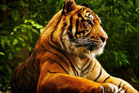 壁纸 动物 虎 老虎 桌面 480_320