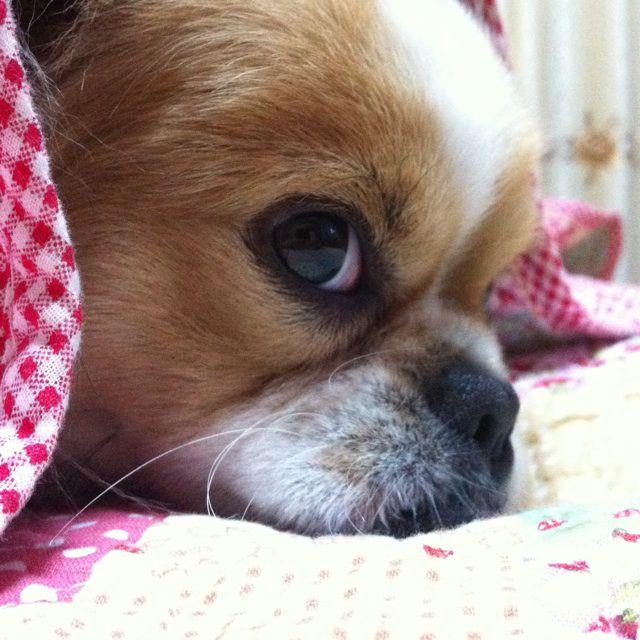 【具体操作】制止狗狗的不良动作,可以用No这个口令。除了说No,还可以说不、不许等词语,选词要尽量简洁,如果语句过长,犬是无法理解的。另外在发出禁止指令时,主人应尽量严厉,将自己生气的情绪直接传达给爱犬,甚至可以一边说,一边用卷好的报纸敲打地面。