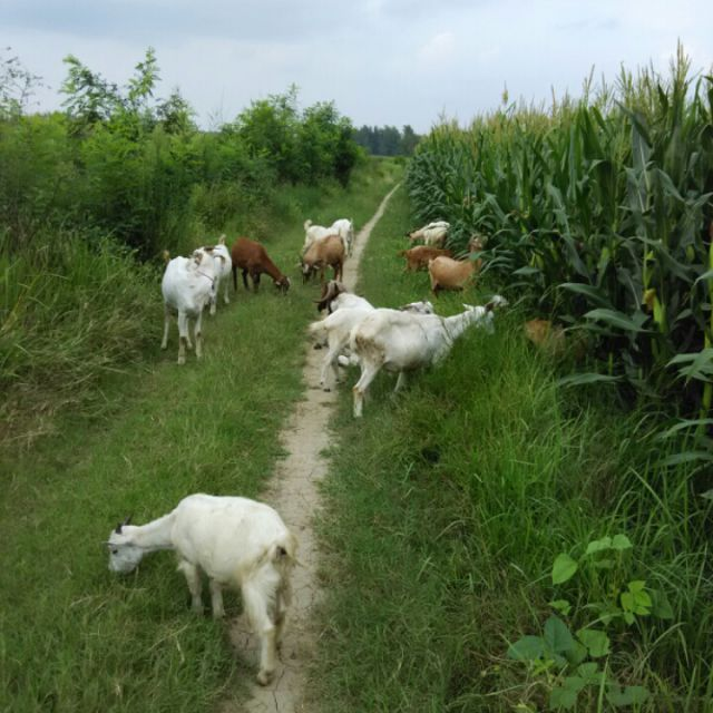 放羊动物动画片