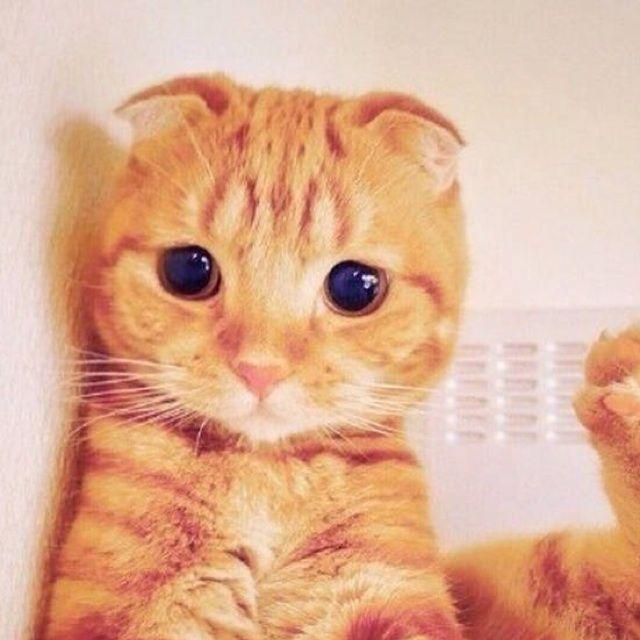 小猫微笑的图片可爱